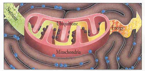 q10-mitochondria